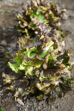 Red Batavia lettuces growing in vegetable garden