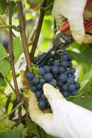 growers: Person cutting grapes off vine, cropped view of hands LANG_EVOIMAGES