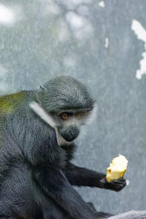 furs: Diana Monkey (Cercopithecus diana), eating fruit