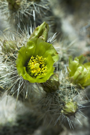 Flowering Silver Cholla cactus (opuntia echinocarpa), close-up LANG_EVOIMAGES