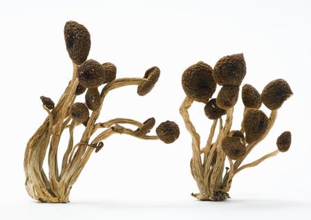 holistic view: Shimeji mushrooms