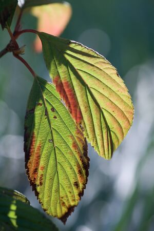 Leaves turning red, close-up LANG_EVOIMAGES