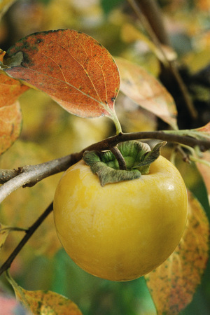 Persimmon growing on branch, close-up