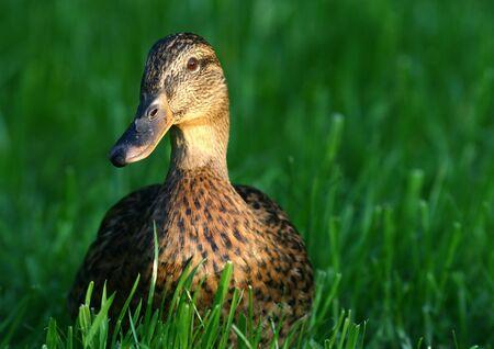 Mallard duck LANG_EVOIMAGES