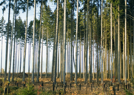 stakes: Switzerland, forest of pines undergoing reforestation LANG_EVOIMAGES