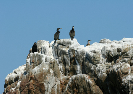 Ile de Brehat, Brittany, France, Common shags (Phalacrocorax aristotelis), cormorants, perched on rock