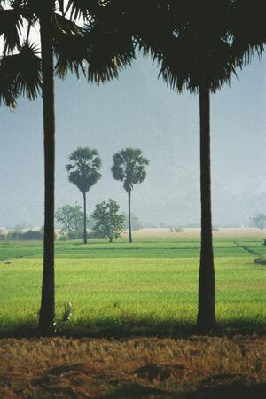 panoramas: Myanmar (Burma), palm trees and rice paddies LANG_EVOIMAGES