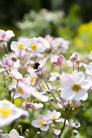 Japanese anemone flowers (Anemone hupehensis)