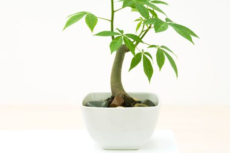 Potted silk floss tree (Chorisia speciosa), side view