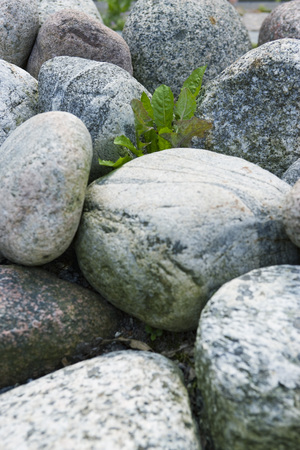 overcoming adversity: Solitary plant growing amongst rocks LANG_EVOIMAGES