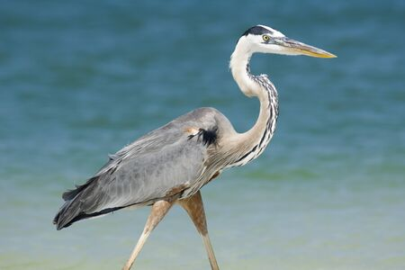 Great Blue Heron LANG_EVOIMAGES