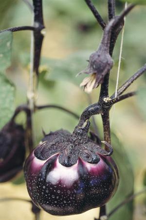 Eggplant growing