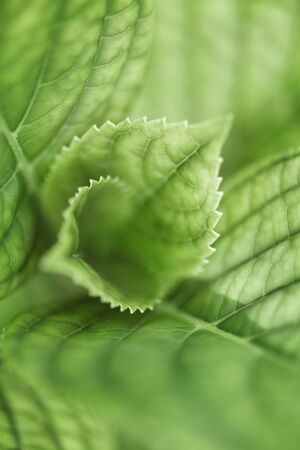 Hydrangea leaves, extreme close-up
