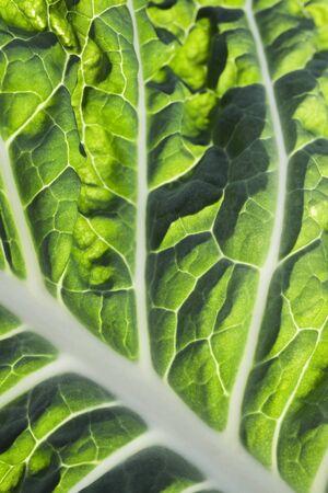 Chard leaf, extreme close-up