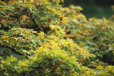 Lush leaves of Japanese Maple beginning their autumnal change from green to yellow LANG_EVOIMAGES