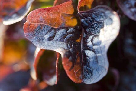 Merlot lettuce, extreme close-up