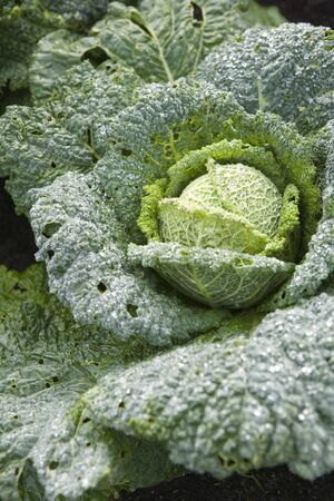 Savoy cabbage, close-up LANG_EVOIMAGES