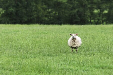 curiousness: Solitary sheep in field