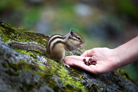 man nuts: Chipmunk eats nuts from the hands of man Stock Photo