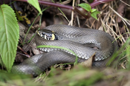 natrix: grass snake in forest environment closeup Stock Photo