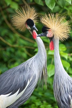 seemingly: Two crowned cranes seemingly in a discussion Stock Photo