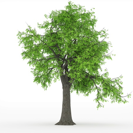 ash tree Stock Photo - 18004393