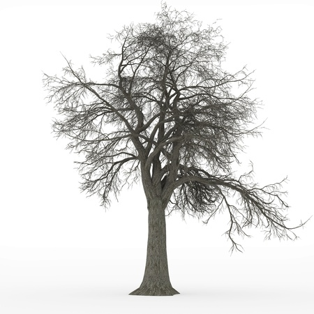 ash tree: ash tree leafless Stock Photo