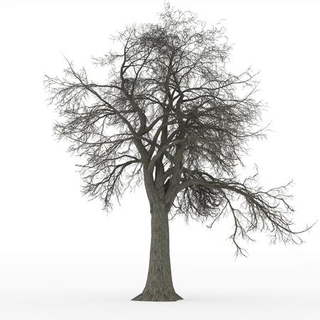 ash tree: frassino albero senza foglie