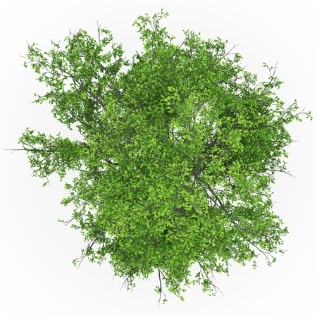 ash tree: albero top cenere