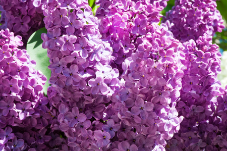 Spring background with lilacs Standard-Bild