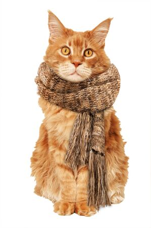 Red Maine Coon cat in a warm scarf on a white background
