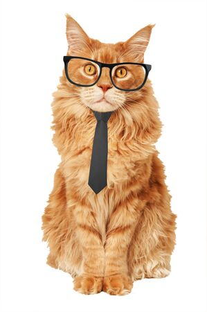 Red Maine Coon cat in a tie and glasses on a white background Stok Fotoğraf