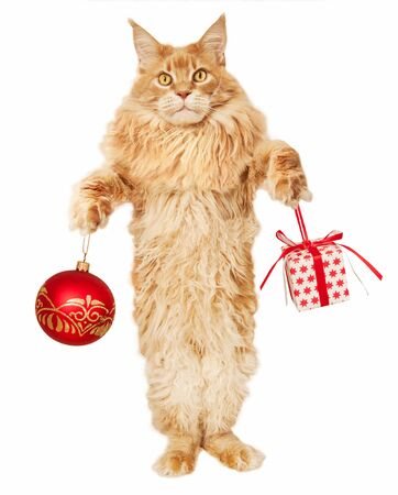 Red Maine Coon cat with christmas toys on a white background