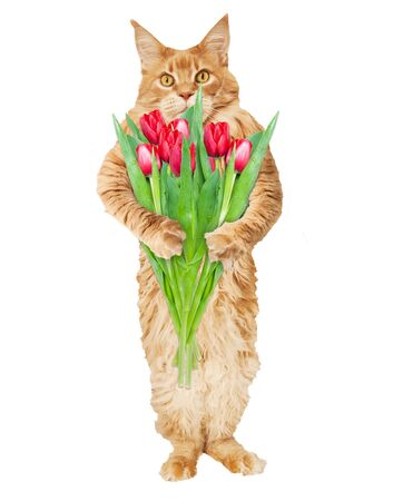 Red Maine Coon cat with a bouquet of tulip flowers on a white background Stok Fotoğraf