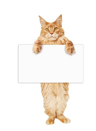 Red Maine Coon cat with a blank sheet of paper on a white background Stok Fotoğraf