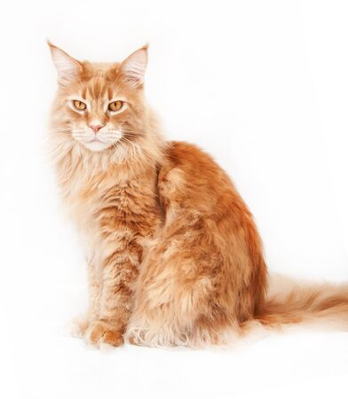 Red Maine Coon cat on a white background 스톡 콘텐츠 - 132013270