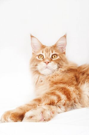 Red Maine Coon cat on a white background