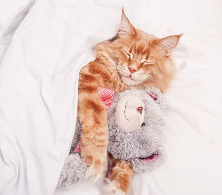 Maine Coon red cat sleeps in bed covered with a blanket with a teddy bear