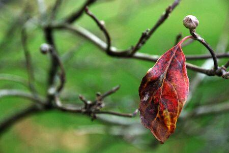 changing color: �nica en el oto�o de la hoja de evoluci�n de las ramas desnudas de color