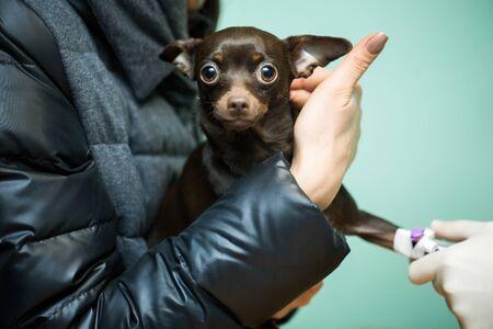 Veterinary catheter clinic for dogs. Dog in the hands of the owner Reklamní fotografie