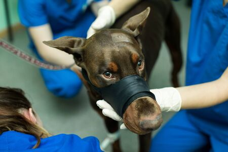 Veterinary inspection of the dog Doberman. Preparation for surgery