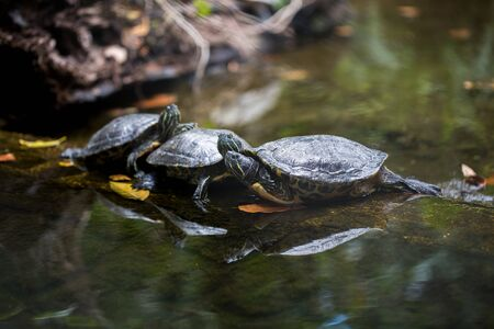 Group Red-eared slider resting on the shore. Turtle lined