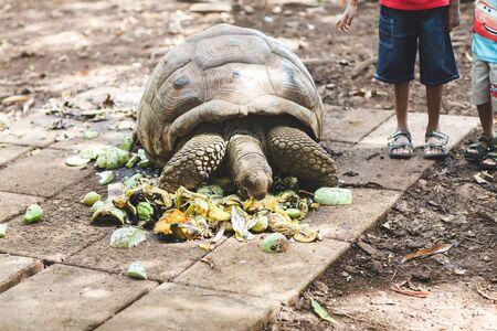 land-based Seychelles turtles eat vegetables and leaves close-up