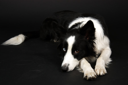 Lying Border Collie