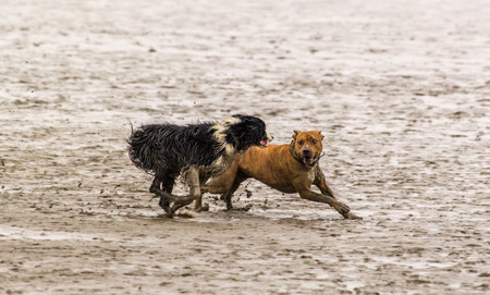 german north sea region: American Staffordshire Terrier and Border Collie in the mud