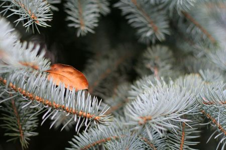 branches of fir tree with autumnal leaf photo