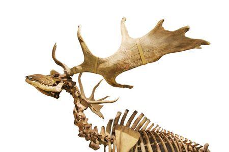 skeleton of fossil deer