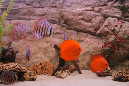tropical fish discus (Symphysodon) Stock Photo - 3885735