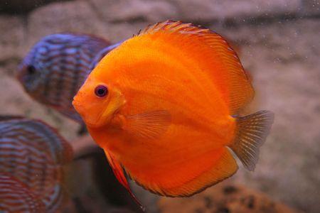 discus: tropical fish discus (Symphysodon)