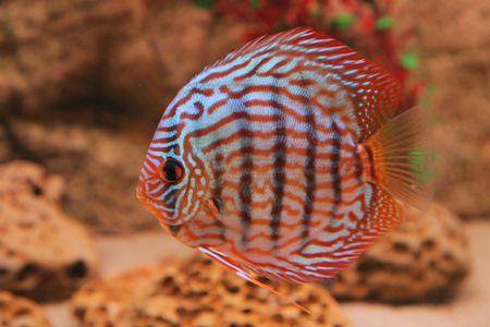 tropical fish discus (Symphysodon) photo